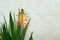 Flor vermelha da flauta em uma planta carnuda Fotos de Stock