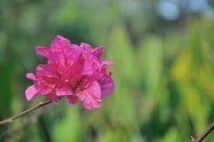 Flor vermelha da folha Fotografia de Stock