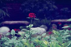 Flor vermelha da hortênsia fotografia de stock
