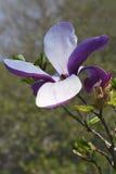 Flor vermelha da magnólia do barão fotos de stock