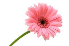 Flor vermelha da margarida Fotografia de Stock Royalty Free