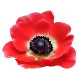 Flor vermelha da mola da flor Fotos de Stock