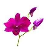 Flor vermelha da orquídea Fotos de Stock