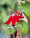 Flor vermelha da paixão Imagens de Stock