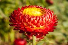Flor vermelha da palha Imagem de Stock Royalty Free