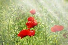 Flor vermelha da papoila Fotografia de Stock