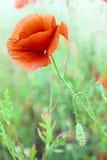 Flor vermelha da papoila Fotografia de Stock Royalty Free