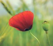 Flor vermelha da papoila Fotos de Stock Royalty Free