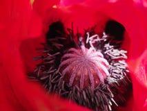 Flor vermelha da papoila Imagens de Stock Royalty Free