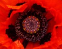 Flor vermelha da papoila com as folhas verdes no fundo no jardim do verão imagens de stock
