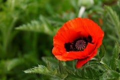 Flor vermelha da papoila com as folhas verdes no fundo no jardim do verão foto de stock