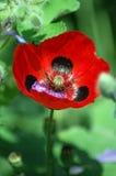 Flor vermelha da papoila de Califórnia Imagem de Stock Royalty Free
