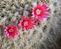Flor vermelha da pera espinhosa Imagem de Stock