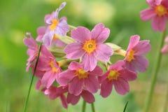 Flor vermelha da prímula no jardim Fotografia de Stock