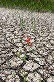 Flor vermelha da sobrevivência em terra rachada Fotos de Stock Royalty Free