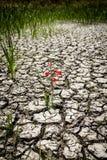Flor vermelha da sobrevivência em terra rachada Imagens de Stock Royalty Free
