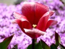 flor vermelha 2016 da tulipa Imagem de Stock Royalty Free