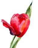 Flor vermelha da tulipa Imagens de Stock Royalty Free