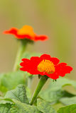Flor vermelha das dálias fotografia de stock