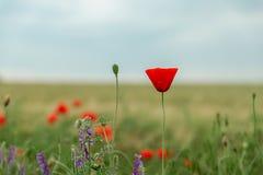 Flor vermelha das papoilas no campo verde foto de stock