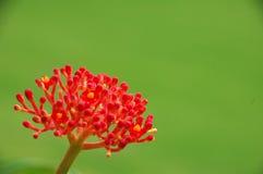 Flor vermelha de Decortive na flor Fotos de Stock Royalty Free