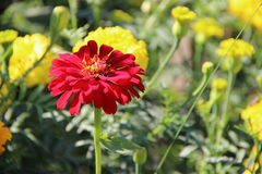 Flor vermelha de florescência fotos de stock royalty free