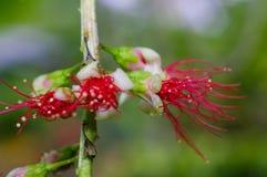 Flor vermelha de florescência Foto de Stock Royalty Free