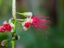 Flor vermelha de florescência Fotografia de Stock