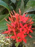 Flor vermelha de Ixora fotos de stock royalty free