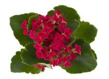 Flor vermelha de Kalanchoe Foto de Stock Royalty Free