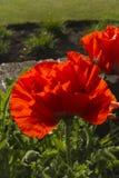 Flor vermelha de Papaveroideae da papoila Imagens de Stock