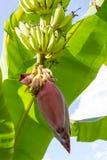 Flor vermelha de uma banana Fotos de Stock