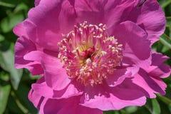 Flor vermelha de uma peônia do jardim Foto de Stock