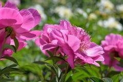 Flor vermelha de uma peônia do jardim Imagem de Stock