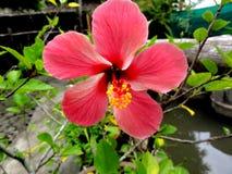 Flor vermelha delicada perfeita Foto de Stock Royalty Free