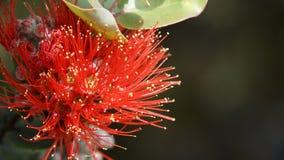 Flor de Ohia Lehua Imagens de Stock Royalty Free