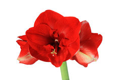 Flor vermelha do amaryllis Fotografia de Stock Royalty Free