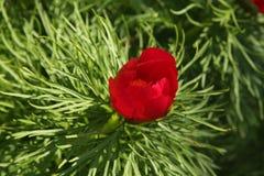 Flor vermelha do anomala do Paeonia do tenuifolia do Paeonia na folha verde densa Foto de Stock