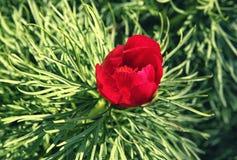 Flor vermelha do anomala do Paeonia do tenuifolia do Paeonia na folha verde densa Imagens de Stock