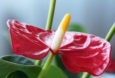Flor vermelha do antúrio Imagem de Stock