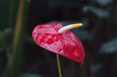 Flor vermelha do antúrio Fotos de Stock Royalty Free
