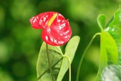Flor vermelha do antúrio Imagens de Stock