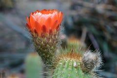Flor vermelha do cacto Fotografia de Stock Royalty Free