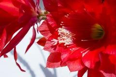 Flor vermelha do cacto, fundo com houseplant Imagens de Stock Royalty Free