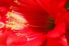 Flor vermelha do cacto, fundo com houseplant Fotografia de Stock