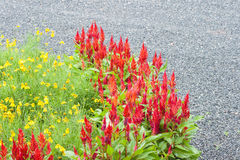 Flor vermelha do Celosia Fotografia de Stock Royalty Free