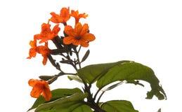 Flor vermelha do Cordia com fundo branco foto de stock