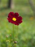 Flor vermelha do cosmos Fotografia de Stock
