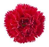 Flor vermelha do cravo fotografia de stock royalty free