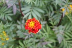 Flor vermelha do cravo-de-defunto em um fundo das folhas verdes foto de stock